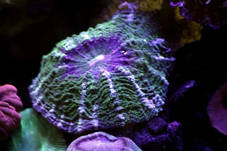 Donut Coral