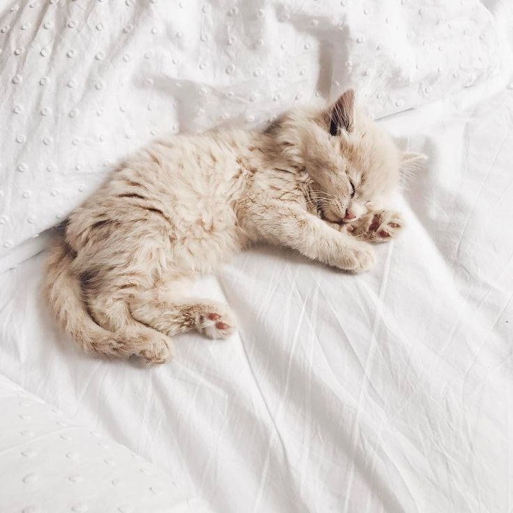 Happy caturday! Cute little light coloured, long haired ginger kitten sleeping on a bed
