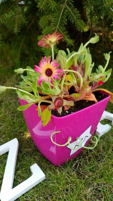 VIERNES FLUOR!! con Dororheanthus  Planta suculenta tapizante de exterior.  https://m.facebook.com/profile.php?id=1492085031019163  WhatsApp - Facebook messenger - 665 82 32 15  #dorotheanthusbellidiformis #plantasdetemporada #fluor #encargosamedida #floresyplantas #estilo #proyectospersonalizados #regalafloresyplantas #pinkflowers #verano #paracuellos #madrid #barajas #daganzo #ajavir #regala  #azaornamental