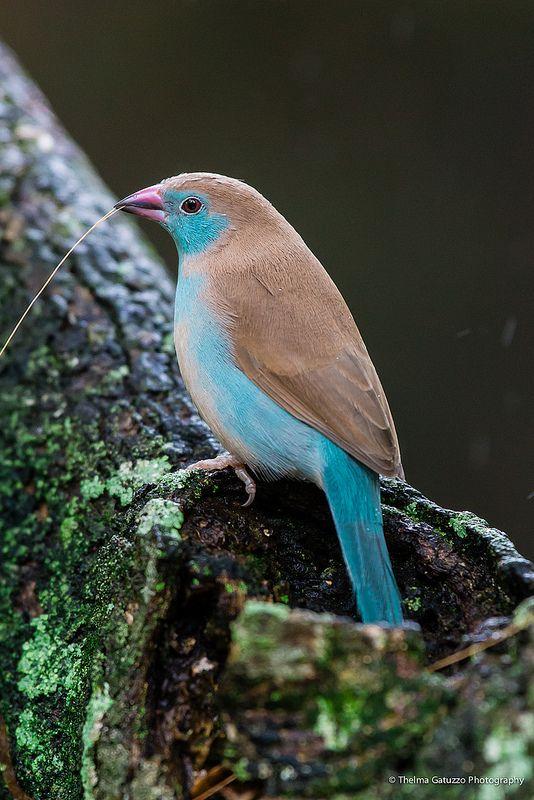 Cordon Bleu Waxbill #birds