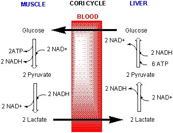 TJ. The Cori cycle (also known as the Lactic acid cycle), named after its discoverers, Carl Ferdinand Cori and Gerty Cori[1] , refers to the metabolic pathway in which lactate produced by anaerobic glycolysis in the muscles moves to the liver and is converted to glucose, which then returns to the muscles and is metabolized back to lactate.[2]