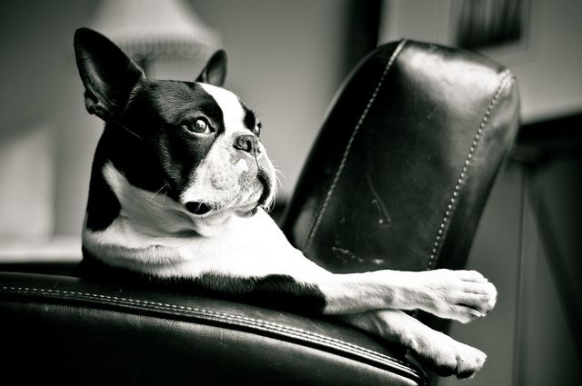 Now that's a very cool boston terrier
