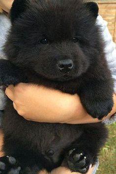 Black Bear Cute Dogs Animals Dogs