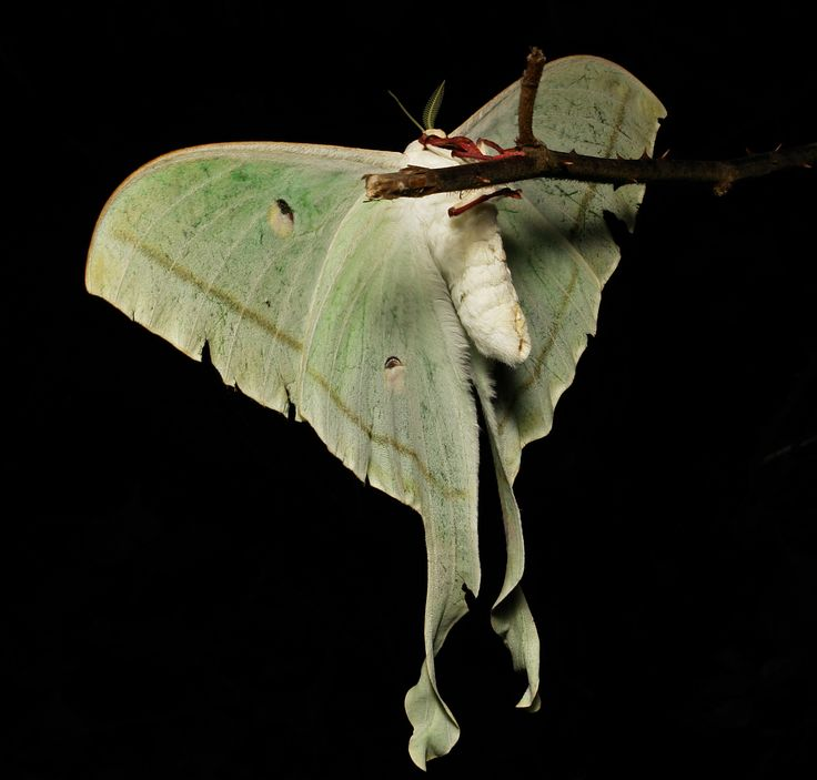https://flic.kr/p/oh93jf | Female Indian Moon Moth (Actias selene, Saturniidae) | On this night out in the Pu'er hills with the MV light, I was visited by not one, but two, female Moon Moths simultaneously.  It was getting late and was starting to drizzle rain, so I had already packed up the camera and dismantled my sheet leaving the light on so I could see what I was doing.  Typical of the Saturniids, they are erratic flyers and crash and flap frantically where ever they land which is why…