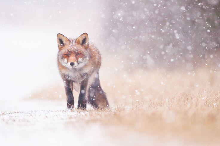 nunavut muskox hunting