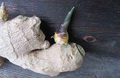 Odla egen ingefära Text och foto: Lotta Flodén Att odla egen ingefära är enkelt och roligt! Vill du odla gurkmeja gör du på samma sätt. 1. Välj en ekologisk bit ingefära i mataffären, helst Läs mer
