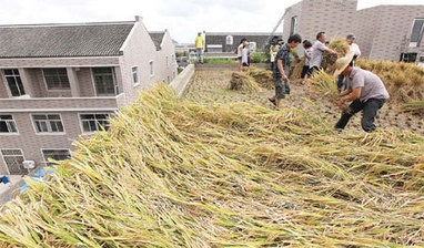 Rooftop rice a sky-high solution - China Daily