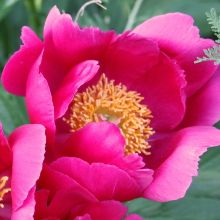 Peony for sale buy Paeonia 'Scarlett O'Hara'