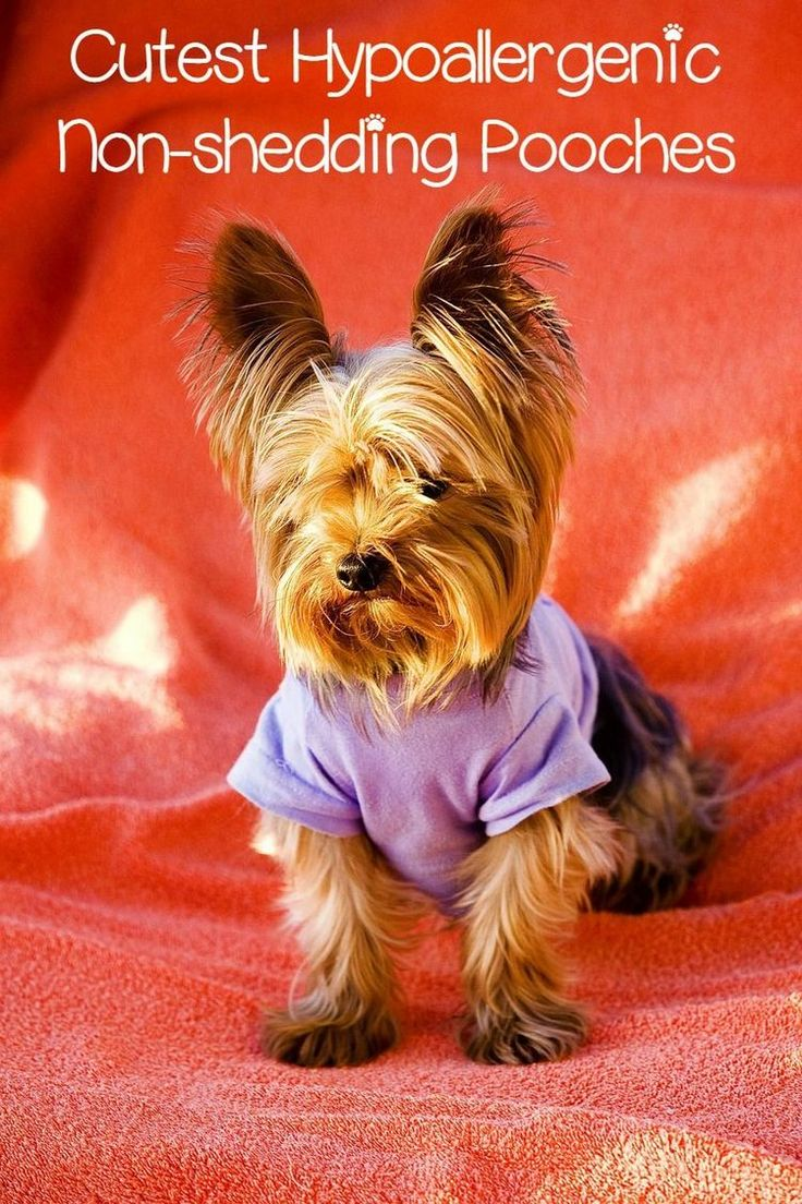 Hypoallergenic dogs, or dogs that don't shed are great for allergies and keeping the house hair-free. These 5 small hypoallergenic dogs are adorable.