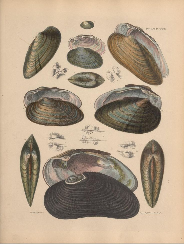 Illustrations of the recent conchology of Great Britan and Ireland : - Biodiversity Heritage Library | pub. 1844