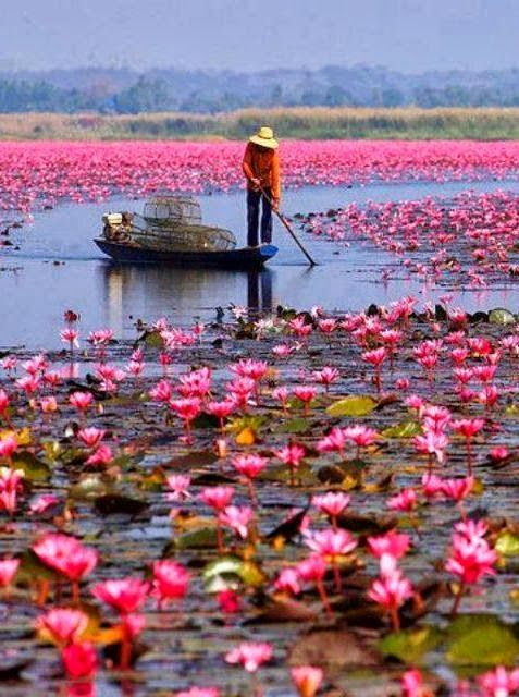 Deep reddish pink waterlilies fill Lake Nong Harn, Thailand as a fisherman stands seeking his catch between the flowers on the still purple waters. -DdO:) http://www.pinterest.com/DianaDeeOsborne/flowers-beyond-expected