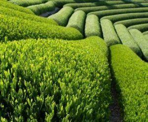 Les merveilleux avantages du thé amincissant