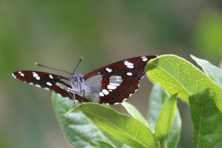 A beautiful butterfly seen at eleonas hotel. #butterfly, #eleonashotel, #bird_watching