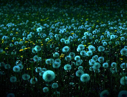 To me dandelions are a sign of hope. To regenerate from our roots and start something new. When we blow away our wishes, our dreams, it gives us something to hold on to.