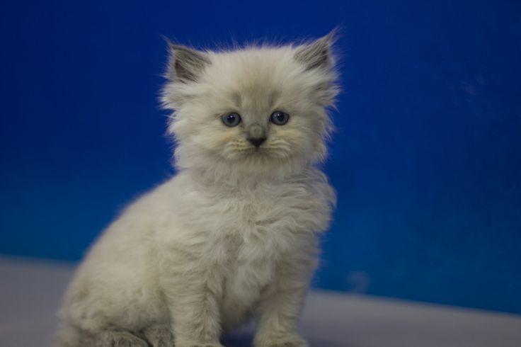 Ragdoll Kittens For Sale Buy Ragdoll Kittens Ragdoll Kitten