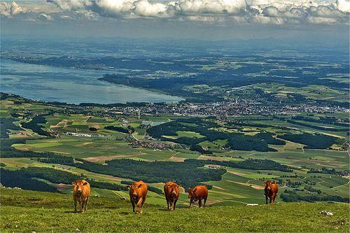 Cows on The  summit of the Suchet (1588 alt ) above  Yverdon-les-Bains (Alt 435m) . June 22,2013. No. 57136.