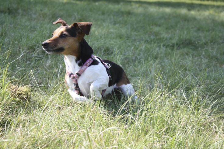 Chloe in action, Jack Russell