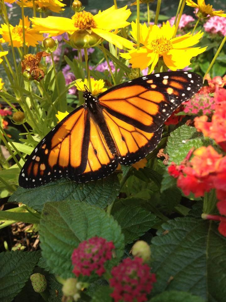 17 Best Images About Butterfly House On Pinterest Persian The Amazing And Monarch Butterfly