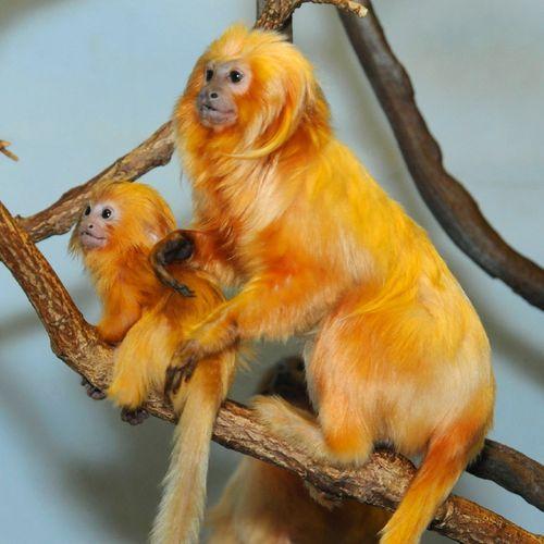 Golden lion tamarin  Baby monkey Golden Lion Tamarin Babies