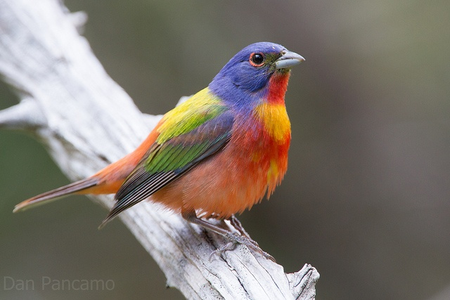 Painted Bunting Texas | Painted Bunting - Texas Guadalupe State Park | Flickr - Photo Sharing!