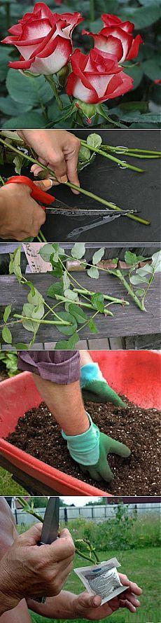 Как вырастить розы из букета в домашних условиях.   ЖЕНСКИЙ МИР