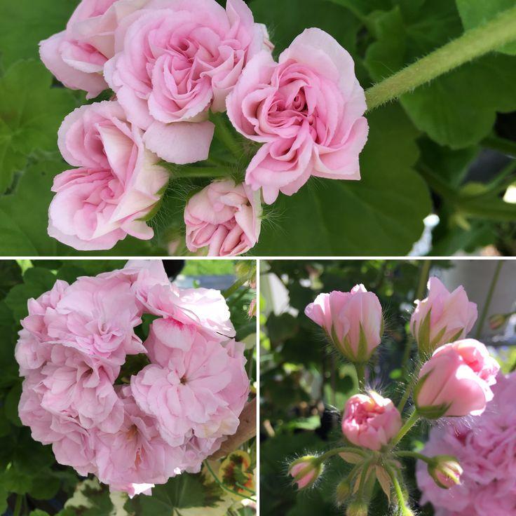 Millfield Rose Ruby Holborow. Dubbla syrenlila välfyllda blommor. Halvhänghybrid, korsning mellan zonalpelargon och hängpelargon. Bör planteras i stor kruka för att komma till sin rätt. Fantastiska rosenblommor!