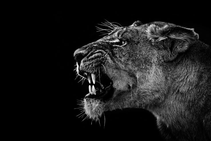 Angry Lioness | Photography | Pinterest