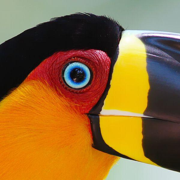Foto tucano-de-bico-preto (Ramphastos vitellinus) por Daniel Mello | Wiki Aves - A Enciclopédia das Aves do Brasil