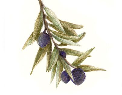 "Check out new work on my @Behance portfolio: ""Sketching - olive brunch"" http://be.net/gallery/57317325/Sketching-olive-brunch"