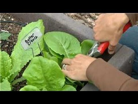 Growing Greens : How to Harvest Buttercrunch Lettuce - YouTube