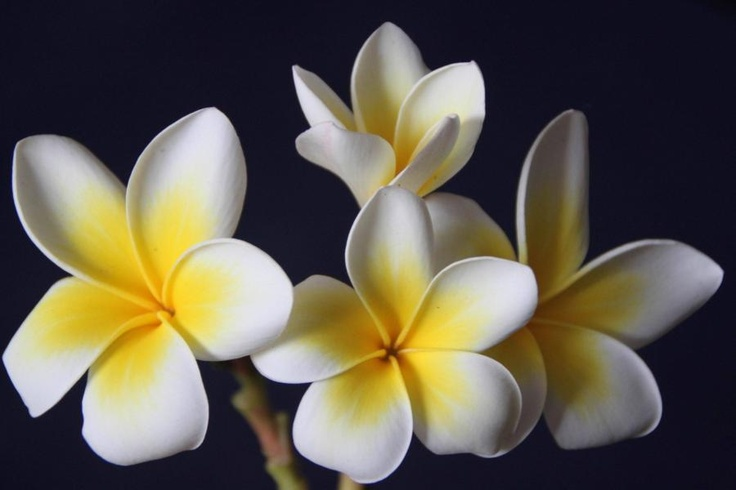 Fleur Embleme Of The Laos Pixdaus Plants Trees And