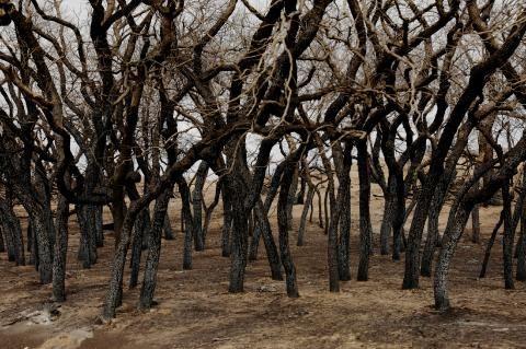 》Gleich mehrere US-Bundesstaaten haben derzeit mit schweren Bränden zu kämpfen. Betroffen sind vor allem Texas, Oklahoma und Kansas. Aber auch in Colorado, Nebraska und den Everglades in Florida brachen Feuer aus. Diese zerstörten Bäume erinnern in der Nähe von Higgins (US-Bundesstaat Texas) an die verheerende Kraft der Flammen.《