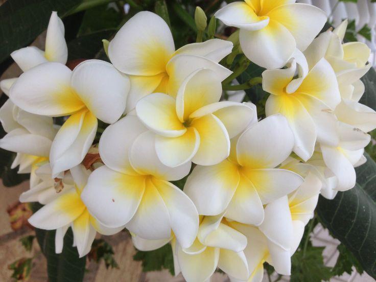 Plumaria, una de mis flores favoritas
