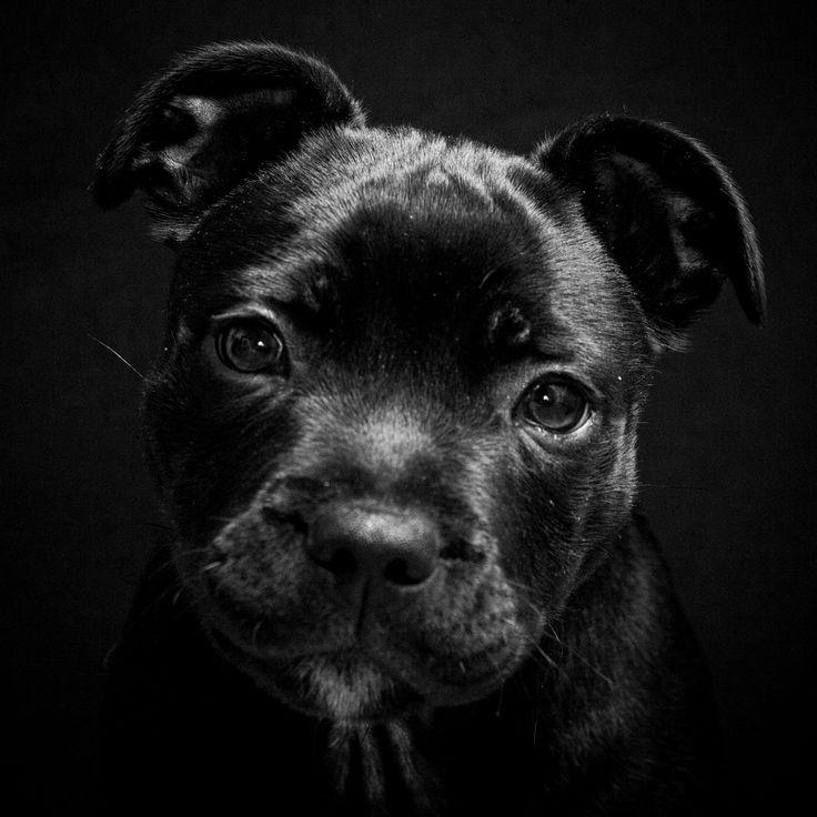 Lil' Black Pit Bull Puppy