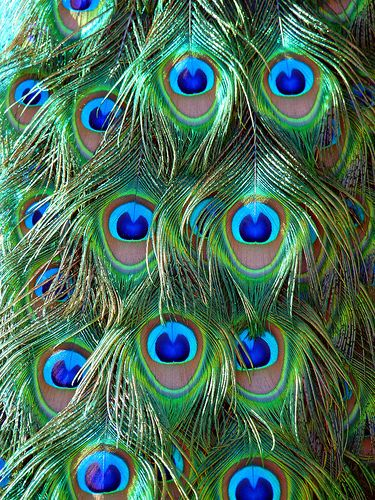beautiful peacock plumes