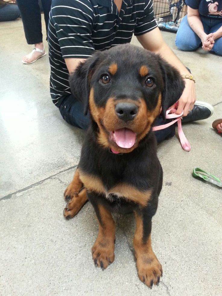rottweiler pitbull mix - Google Search