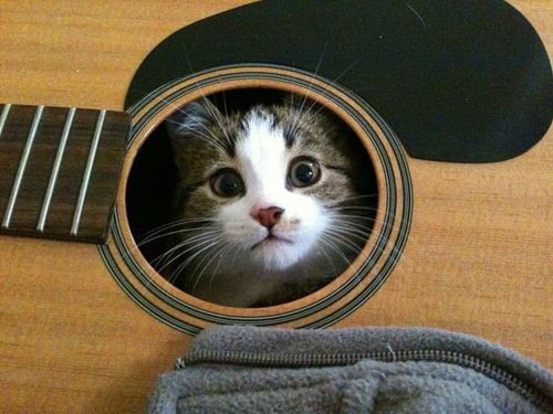 guitar kitten.: Music, Guitar Lessons, Hiding Places, Kitty Cat, Cat Steven, Peek A Boos, Guitar Heroes, Kittens, Funny Animal