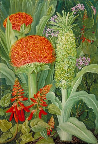African Flowers and Plants | Haemanthus and other South African Flowers