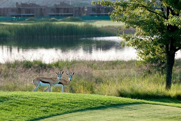 Springboks on the Estate