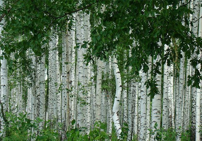 De la famille des betulacées, le Bouleau blanc (Betula alba) est le nom ancien regroupant le Bouleau verruqueux (Betula pendula) et le Bouleau pubescent (Betula pubescens). Ces deux espèces très présentes dans le nord de l'Europe sont facilement reconnaissables...