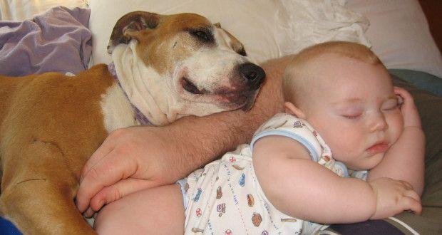 pitbull bona pentru copii