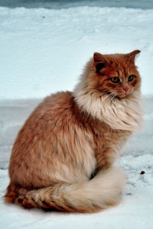 """""""It is with the approach of Winter that cats...wear their richest fur and adopt an air of sumptuous and delightful opulence."""" --Peter Loti"""