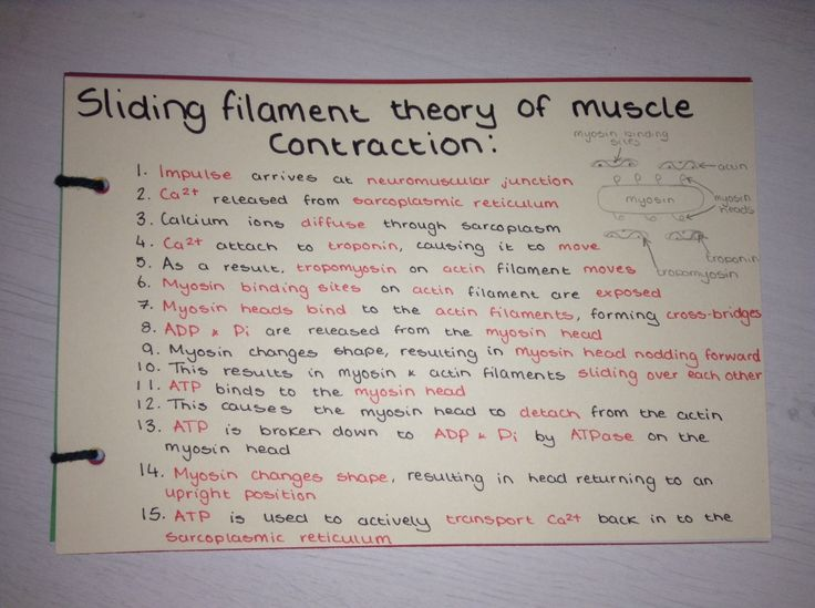 Sliding filament theory of muscle contraction revision card!