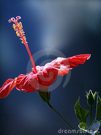 Profile of a red Hibiscus Flower in summer day.