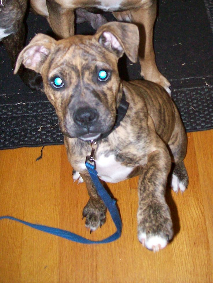 The gallery for --> Rhodesian Ridgeback Pitbull Boxer Mix