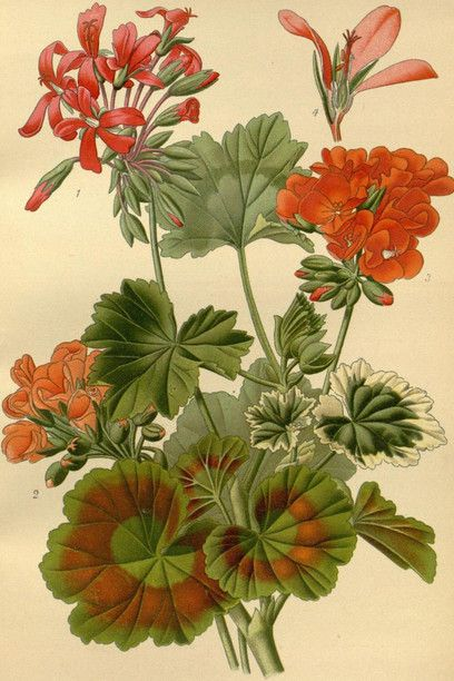 Favourite flowers of garden and greenhouse. Biodiversity Heritage Library
