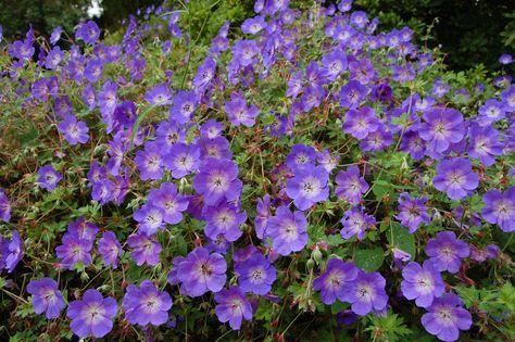 five vivaces couvre-sols à longue floraison qu'il faut avoir!