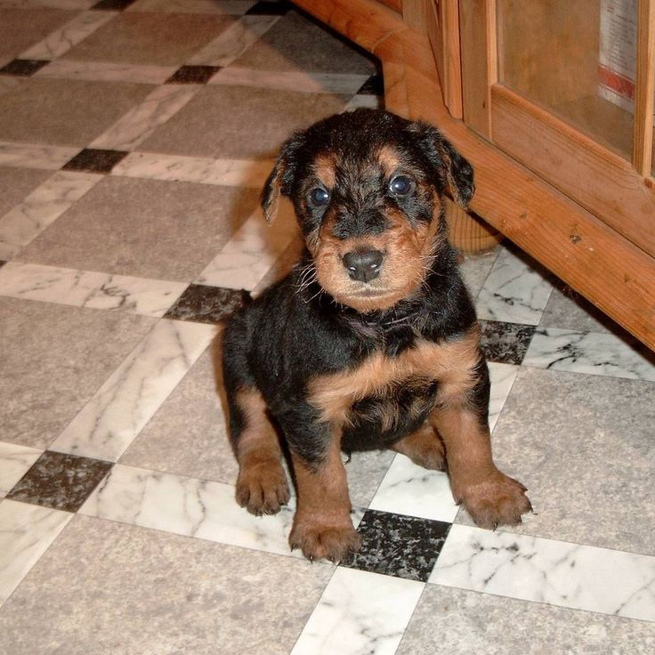 Airedale Terrier puppy....so cute!