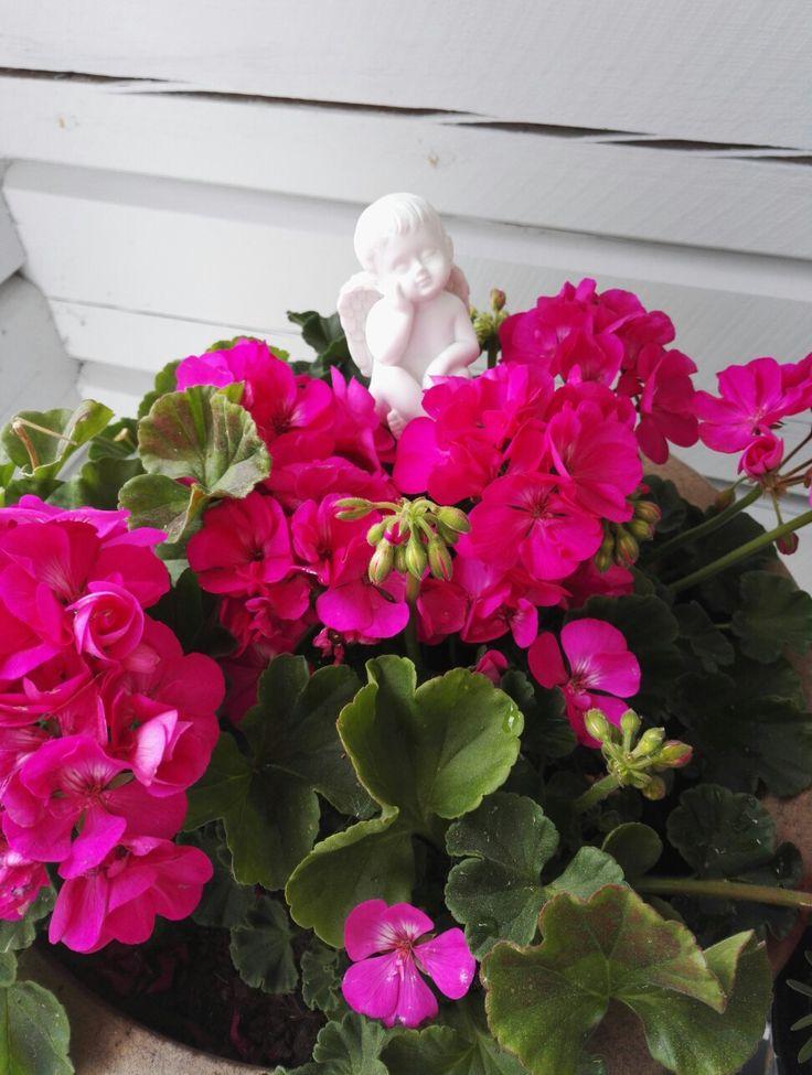 Pinkki pelargonia