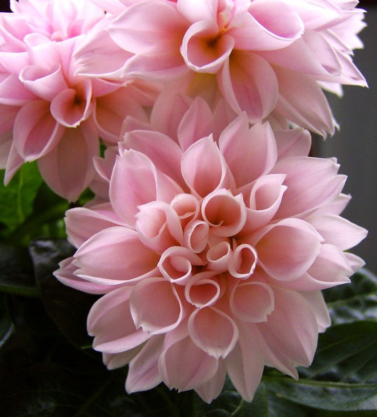 ~~ Dahlia II by ~miss-gardener ~~